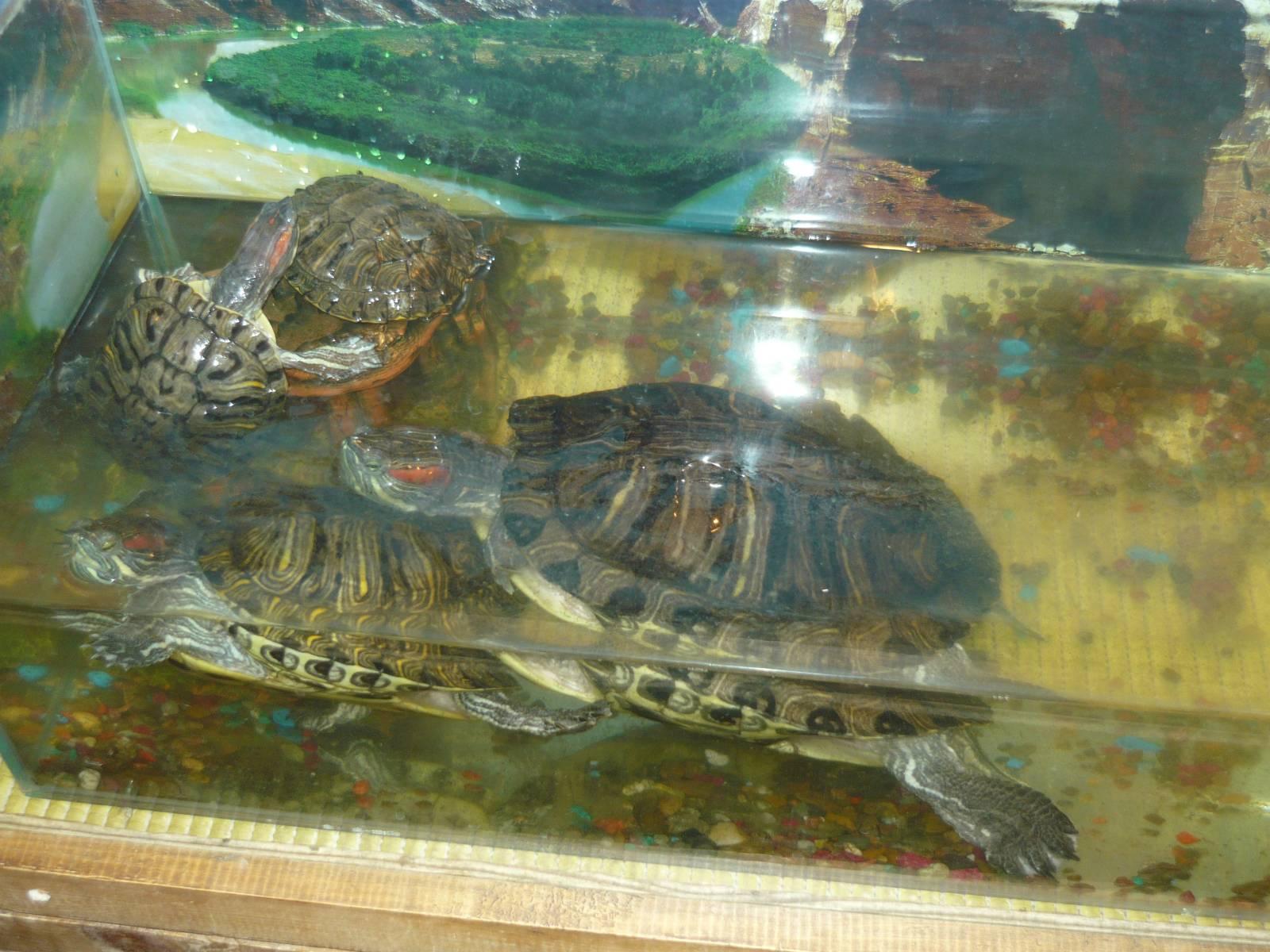 Черепахи красноухие в домашних условиях с рыбками 43